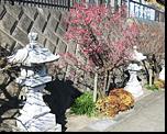 参道を飾る梅の花